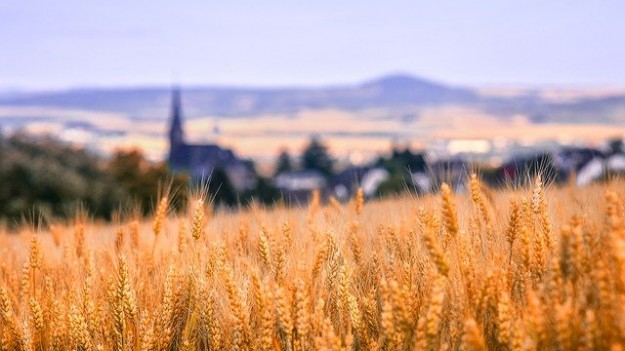 blé récolte