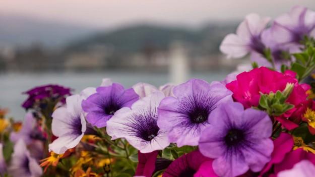Fleurs naturelles violettes, roses et blanches